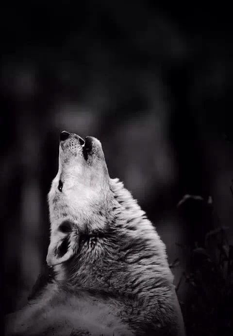 il richiamo wolf